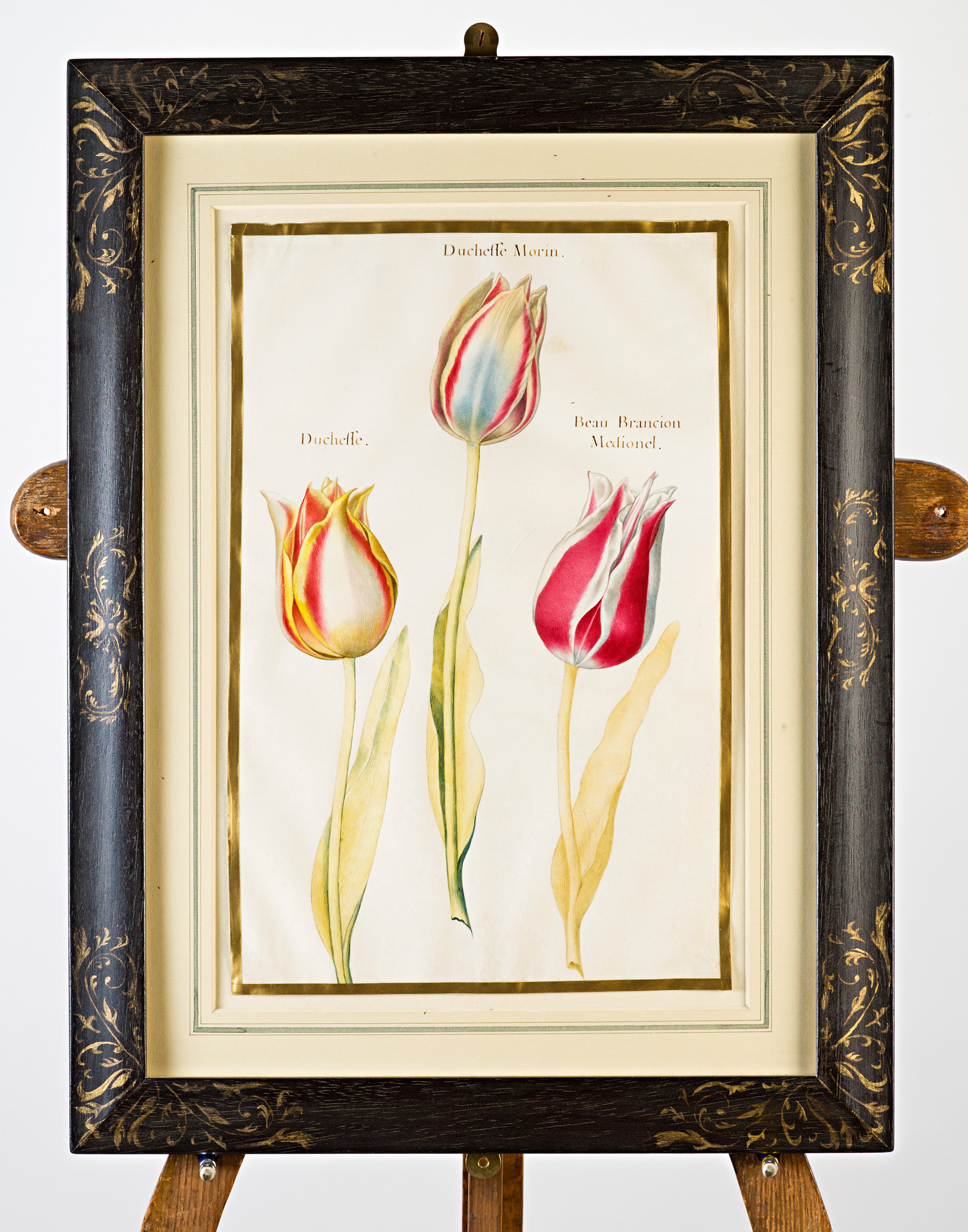 Three tulips, inscribed with title: 'Duchesse, Duchesse Morin, Beau Brancion Medionel', Attributed to Claude Aubriet (c.1665-1742).