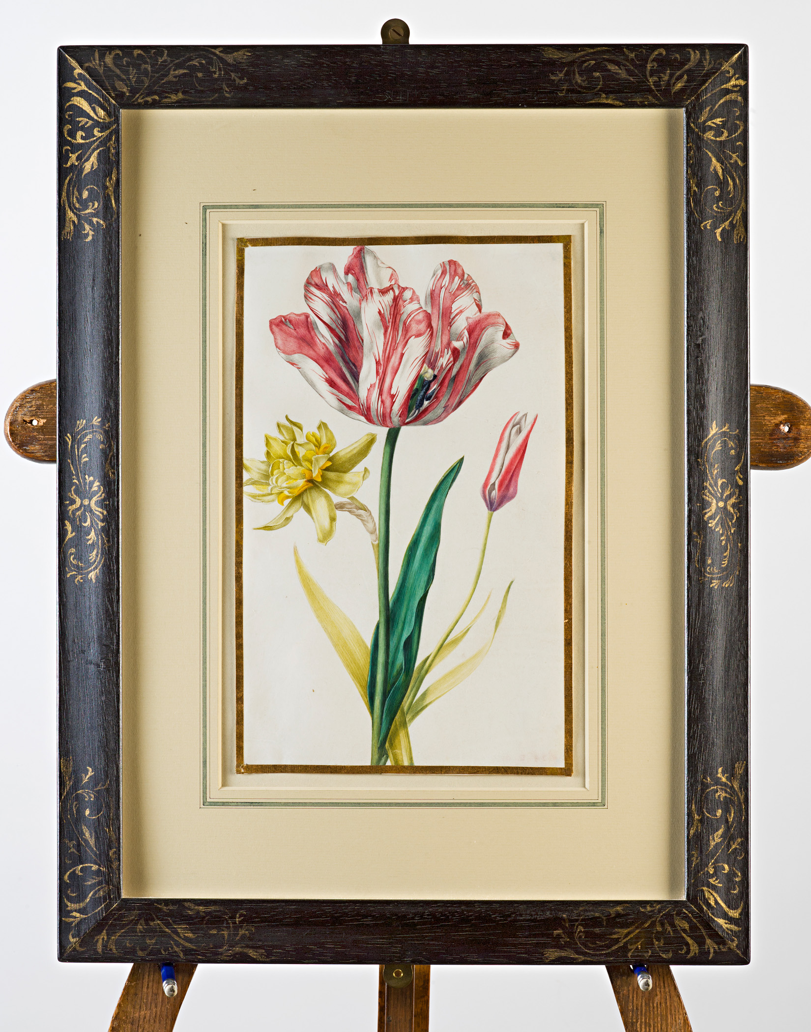 Red and white tulip, double daffodil and species tulip, Attributed to Claude Aubriet (c.1665-1742).