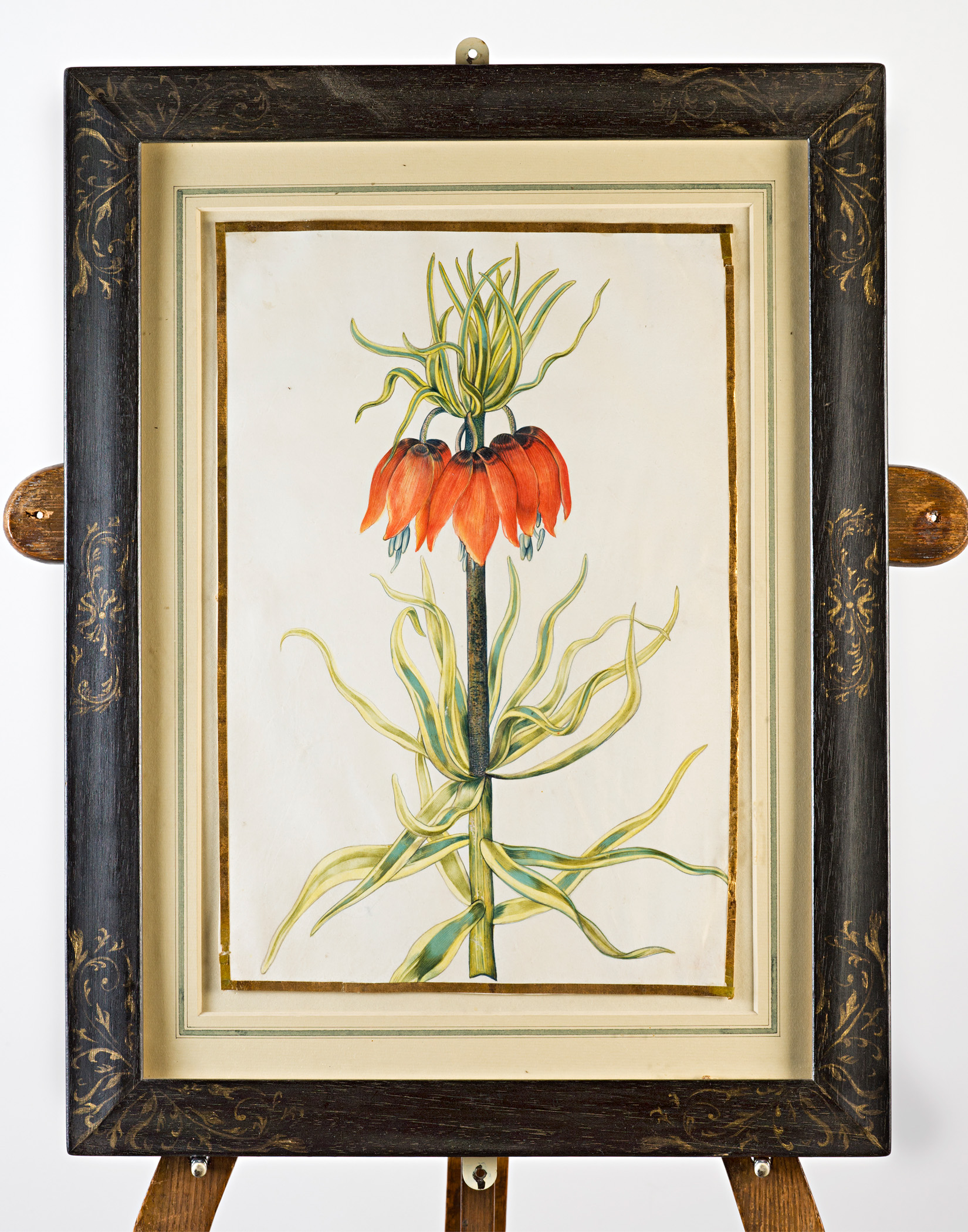 Crown Imperial, Attributed to Claude Aubriet (c.1665-1742).