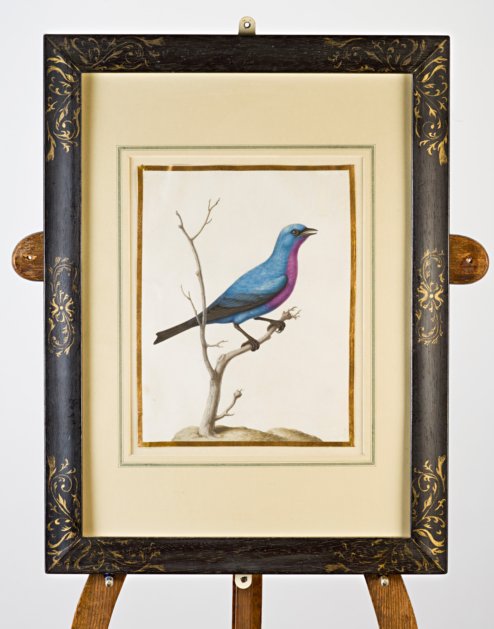 Purple-breasted bluebird, Attributed to Claude Aubriet (c.1665-1742).