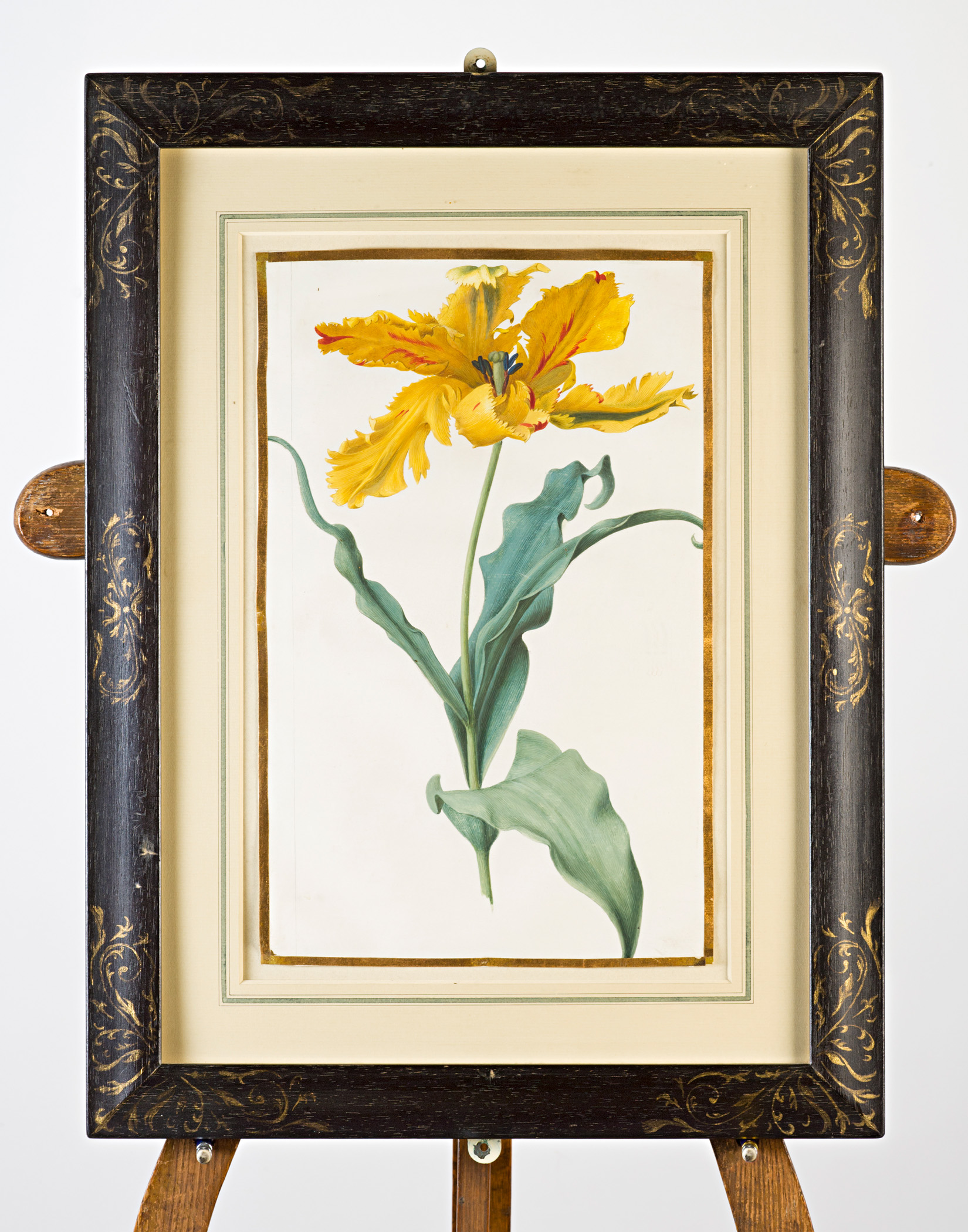 Yellow parrot tulip, Attributed to Claude Aubriet (c.1665-1742).